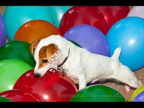 Balloon popping dog,Anastasia's daughter Twinkie breaks 100