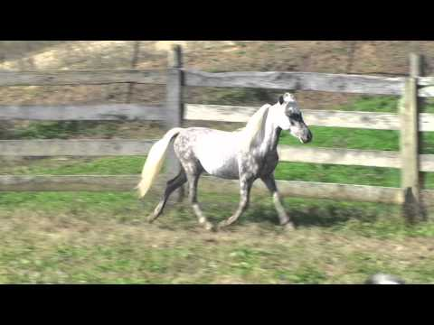 SMHC'S 2010 AMHR/ASPC Stallion for sale