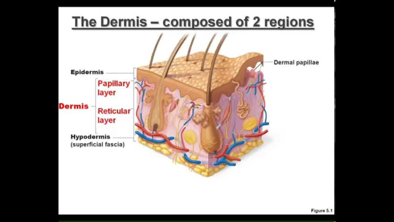 Lecture The Integumentary System Youtube
