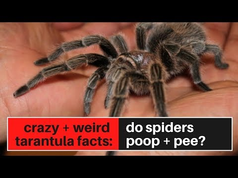 Crazy Tarantula Facts: Do Spiders Poop And Pee?
