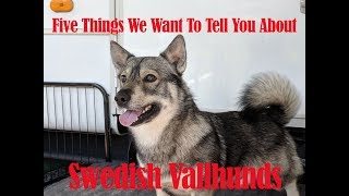 Five things to know about Swedish Vallhunds. Robert and Rebekah dis...