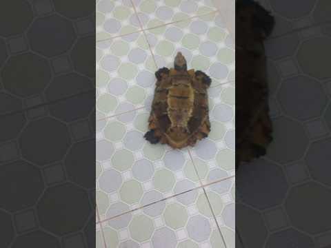 Bán rùa vàng cực hiếm