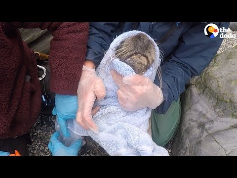 Seal With Net Cutting into Neck SAVED by Rescuers | The Dodo
