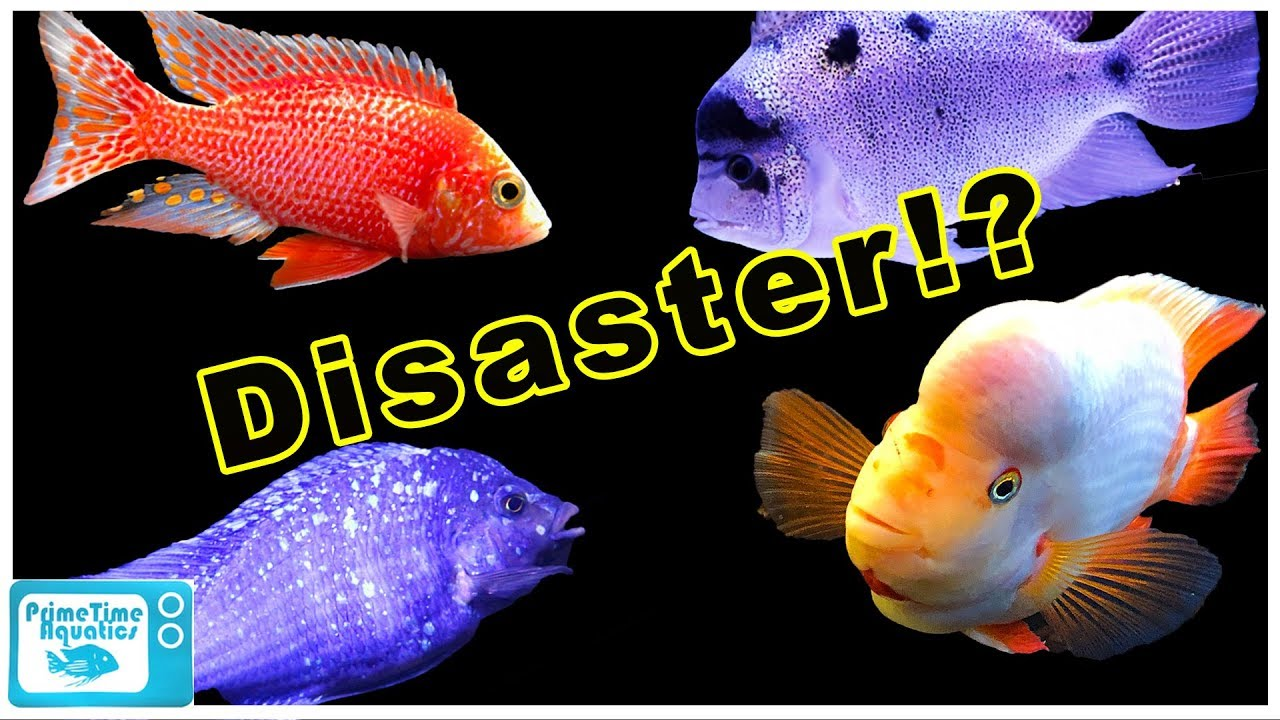 The Biggest Controversy In Fish Keeping Mixing African Cichlids With South American Cichlids Youtube