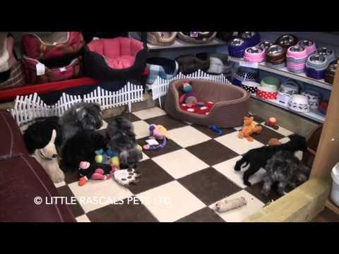 Little Rascals Uk breeders New litter of Miniature schnauzers - for sale January 2016