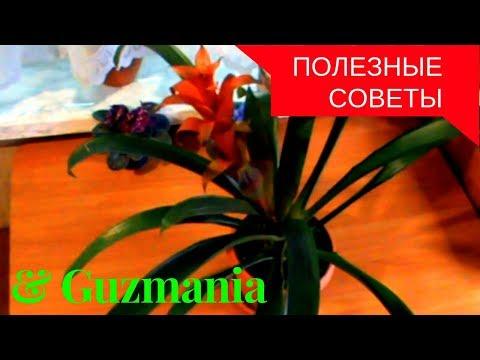 Моя маленькая хитрость:как заставить Guzmania цвести !!! Уход в домашних условиях