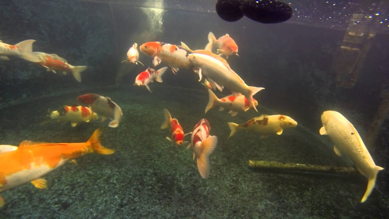 Large Japanese Koi Fish Swimming - YouTube Japanese Koi Fish Swimming