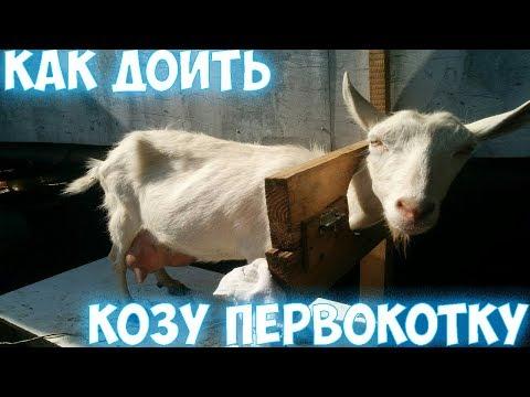 Как приучить козу к дойке