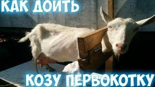 Как доить козу первокотку
