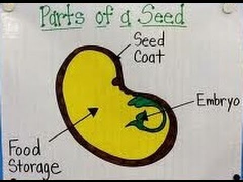 Seed Parts And Functions Kindergartenpreschoolers Youtube