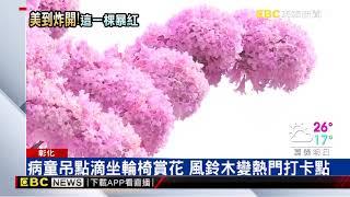 彰化市南郭國小前有一顆紅花風鈴木正在盛開,爆炸的粉紅花朵,宛如櫻花...