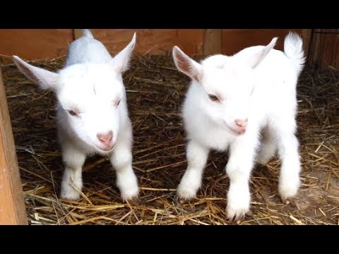 Cute and Funny Baby Goats [Video]