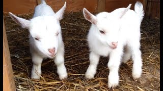 Cute Baby Goats - A Cutest And Funny  Goats Baby Videos Compilation   NEW HD