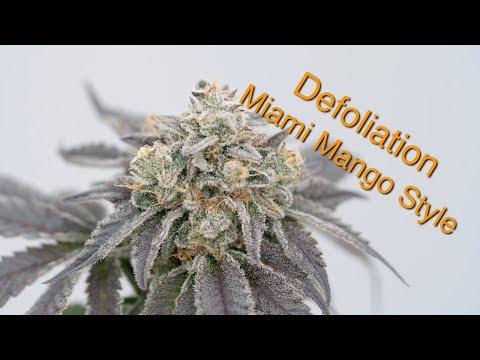 Defoliation Day 42 | Miami Mango Style | Exotic Genetix