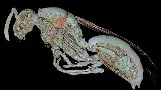 Micro CT study of the common European paper wasp Pollistes gallicus High definition