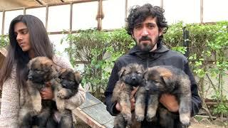Working Line German Shepherd | Canine Conditioning Delhi | German Shepherd Breed Puppies | Scoobers