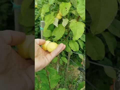 Яблоня Китайка Золотая Ранняя.