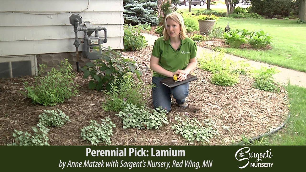 Perennial Pick Lamium Sargent S Nursery Inc
