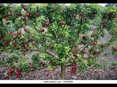 how to train espalier dwarf apple tree youtube. Black Bedroom Furniture Sets. Home Design Ideas