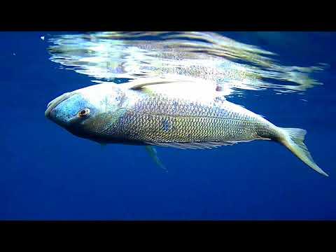 ΒΟΥΤΙΑ ΣΕ ΤΗΝΟ ΚΑΙ ΥΔΡΑ spearfishing at Tinos and Hydra