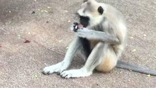 Black Face Monkeys | Langurs Monkeys at Tirumala footpath way