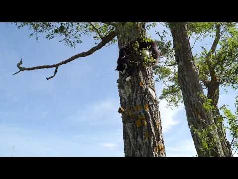 Cat fails climbing down a tree