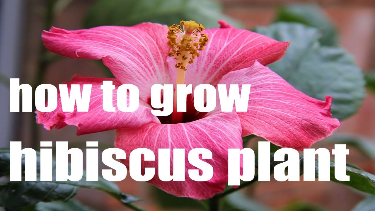 How to get hibiscus to bloom indoors youtube how to get hibiscus to bloom indoors izmirmasajfo