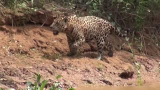 Jaguar Hunting  in the Pantanal / Ягуар на охоте 1080