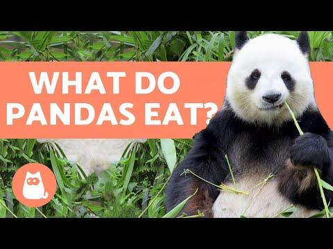 What do PANDAS eat? 🐼 All about the Panda Bear Diet! thumbnail