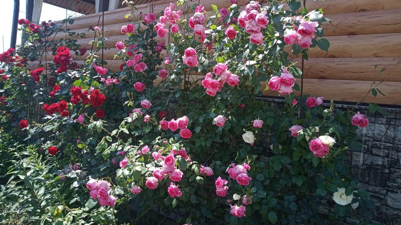 Подготовка плетистых роз к зиме. 26.10.2020