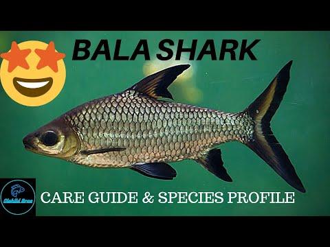BALA SHARK - CARE GUIDE & Species Profile