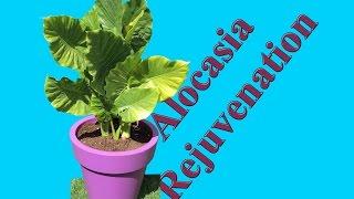 Rejuvenating a Alocasia macrorrhiza - Repotting and Fertilizing