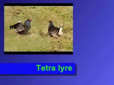 Tetra lyre