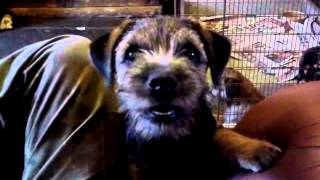 Border Terrier.noisy Pup