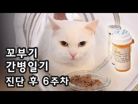 꼬부기 간병일기 - 건식복막염 진단 후 6주차 Taking Care of Cat with FIP