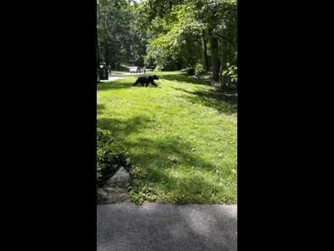 Bear in Howard County MD