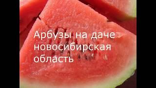 Выращиваем АРБУЗЫ на даче. Новосибирская область.