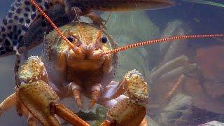 Широкопалый речной рак. European crayfish.
