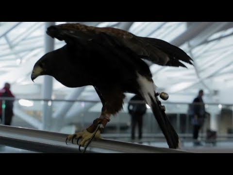 Watch how hawks are keeping King's Cross Station pigeons in line