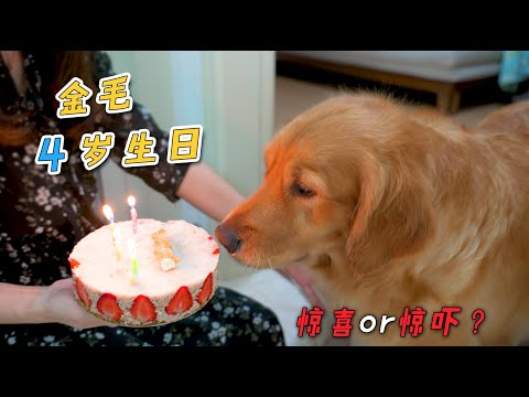 """金毛4岁生日,主人为它准备""""巨大惊喜"""",谁知变成惊吓!"""