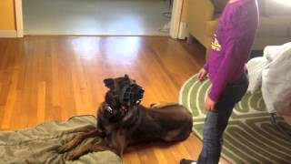 Malinois Lobo And Kids Training