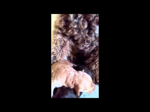 Miniature Labradoodle Breeder in North Carolina
