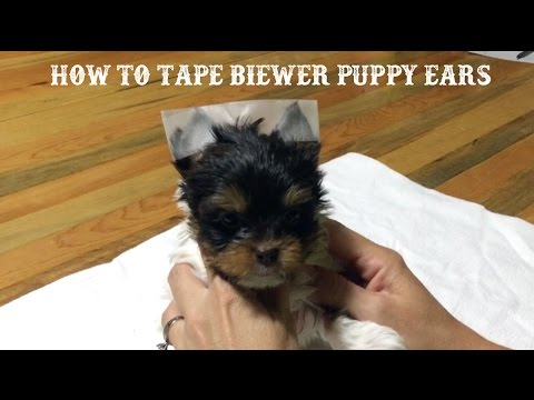 How To Tape Biewer Puppy Ears Youtube