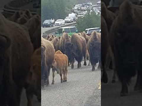 Yellowstone bison road block