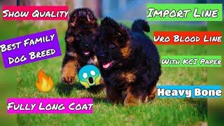 Top Quality Long Coat German Shepherd Puppies For Sale Import Line Uno blood Line Best Intelligent