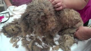 Poodles Rescued In Batavia, Ny