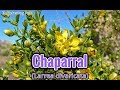 Chaparral is An Amazing Herb Containing a Powerful Antioxidant