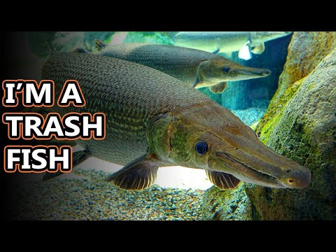 Gar Facts: They Look Prehistoric | Animal Fact Files