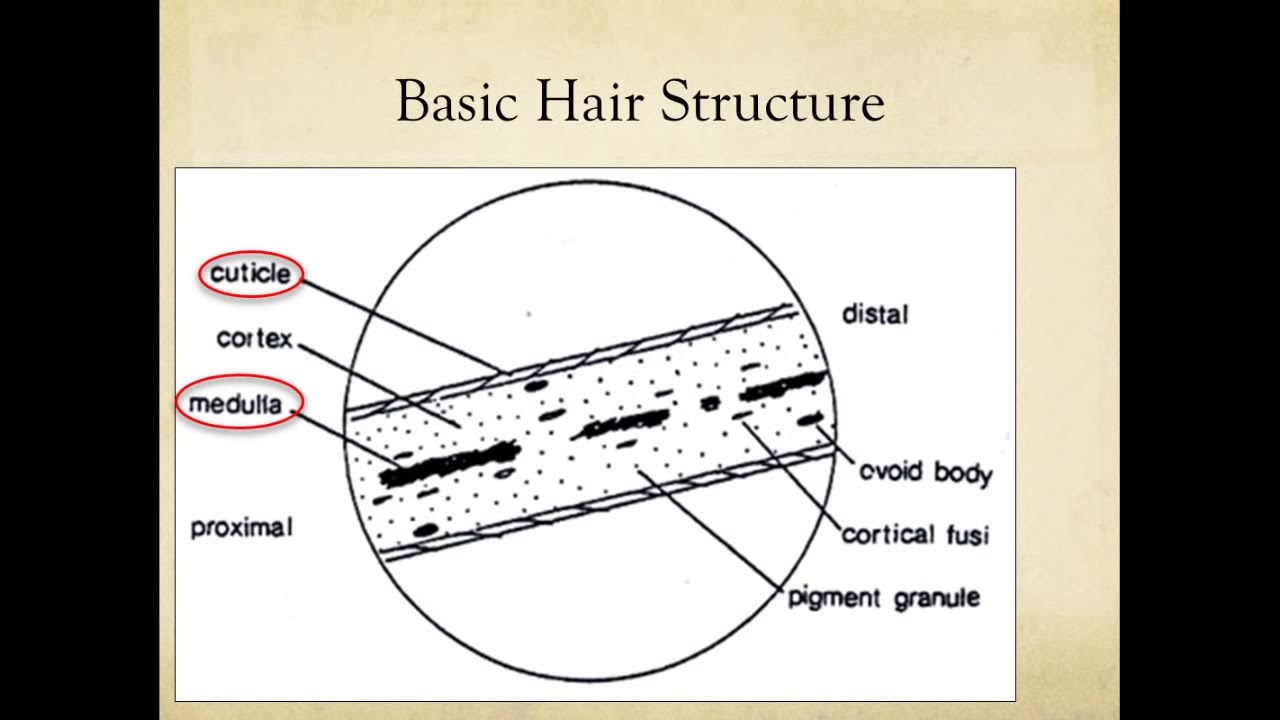 Microscopic comparison of hair and fiber evidence youtube microscopic comparison of hair and fiber evidence ccuart Gallery