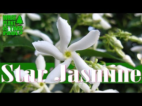 Star Jasmine - Can Be Used As A Climbing Vine, A Groundcover, And A Fragrant Potted Plant